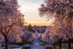 West 22nd Street – cherry blossoms  - Shaughnessy - 3690 East Boulevard, Vancouver