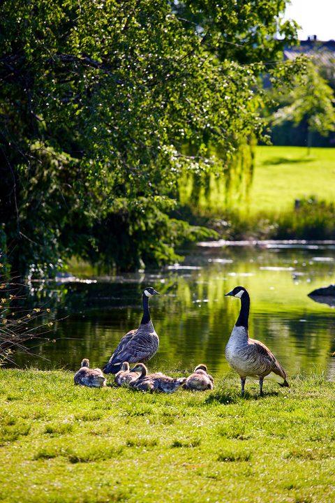 Canada Goose family at Charleston Park - False Creek neighburhood