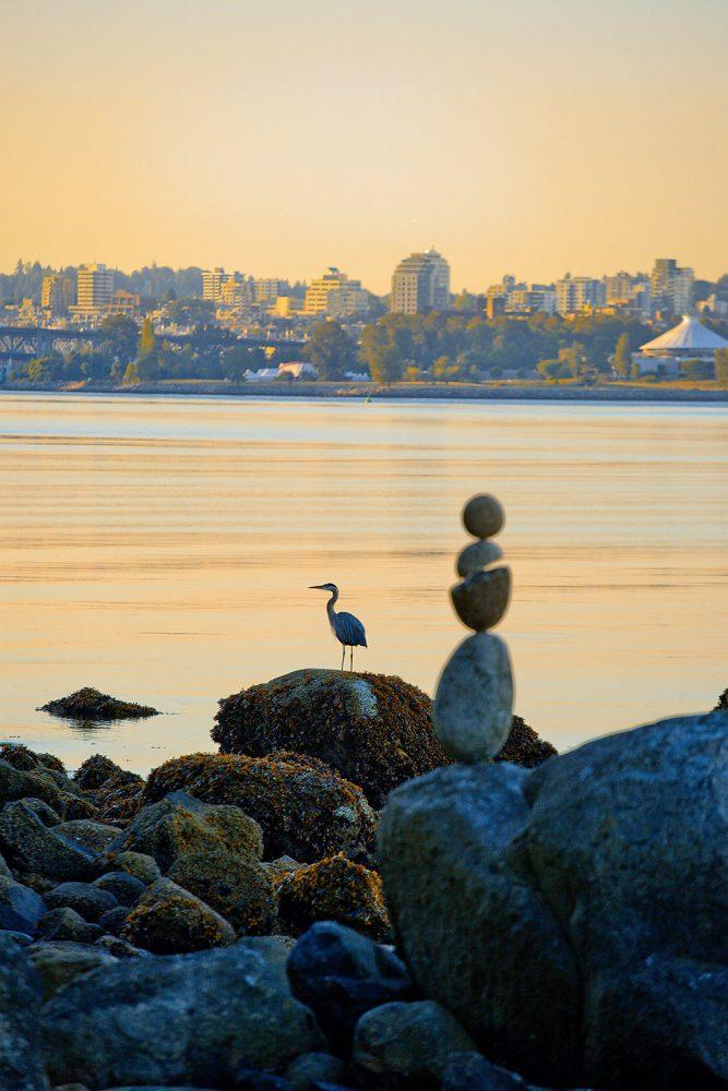 Great blue heron - Vancouver West End neighbourhood