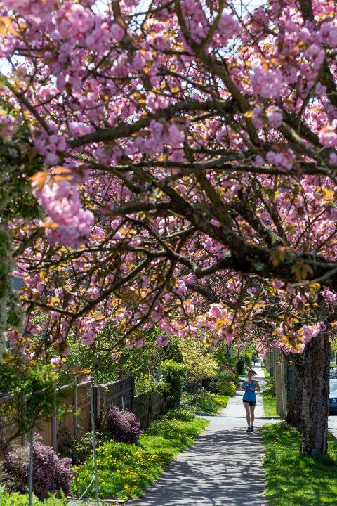 Jogging past cherry blossoms in Kitsilano neighbourhood